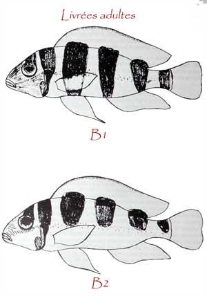 Neolamprologus tretocephalus, dessin de différentes livrées selon son humeur.