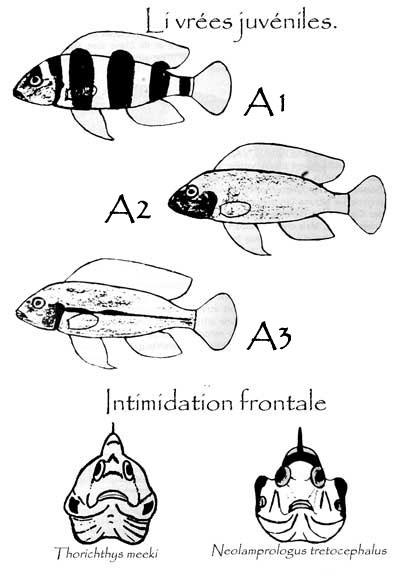 Neolamprologus tretocephalus, livrées, humeurs, agressivité.