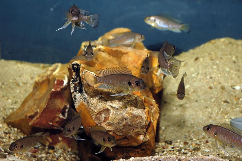 Triglachromis otostigma
