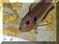 Triglachromis otostigma, femelle lachant ses alevins après une alerte.