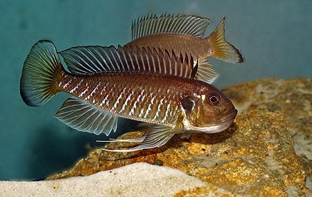 Triglachromis otostigma, femelle paradant devant le m^ùale pour le pmassage des oeufs.