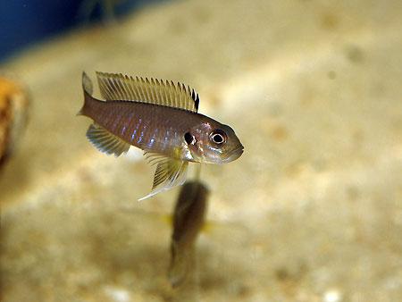 Triglachromis otostigma, jeune femelle pourvue du rayon dur de la nageoire dorsale, mélanisé.