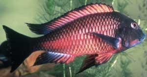 Tropheus sp. red
