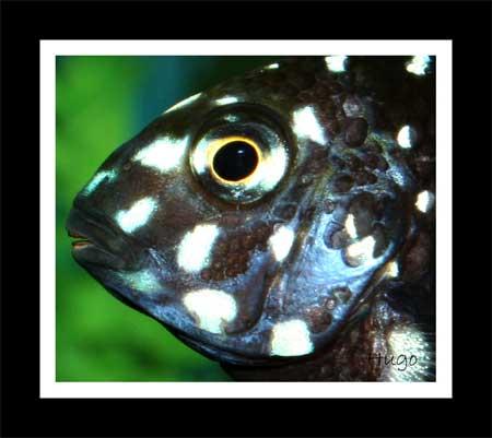 Tropheus duboisi de Maswa (juvénile en aquarium).