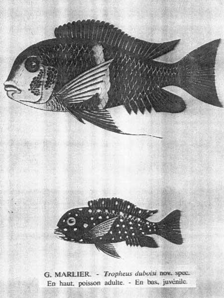 Tropheus duboisi | cichlidés | lac Tanganyika .
