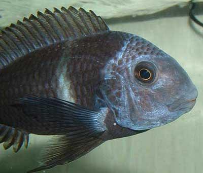 Tropheus duboisi de Pemba / Bemba en aquarium.
