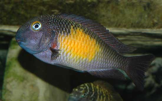 Population type du Tropheus moorii (Mpulungu)