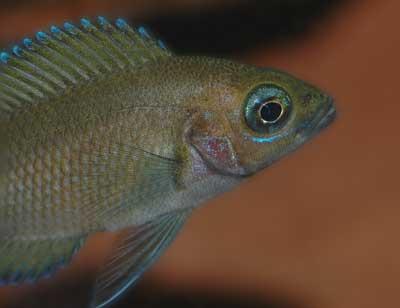 Variabilichromis de 9 mois