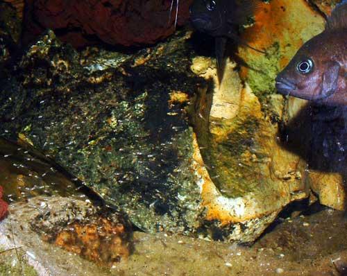 Variabilichromis moorii, le couple et ses alevins de quelques jours.