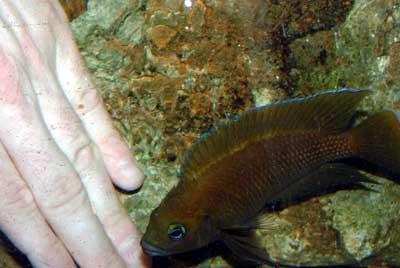 Ataque de protection par le mâle Variabilichromis.