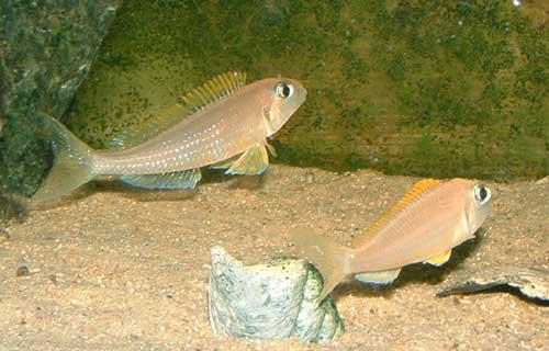 Xenotilapia flavipinnis | male paradant devant sa femelle.
