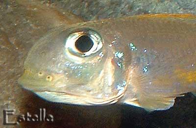 Xenotilapia flavipinnis détail d'une incubation buccale.