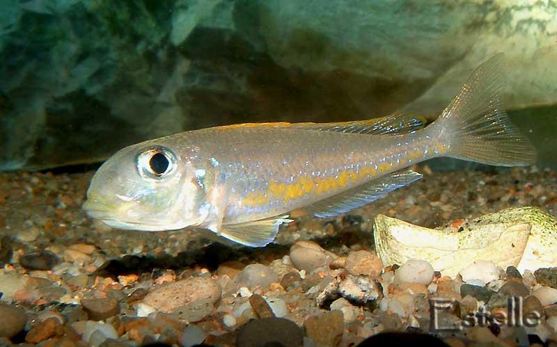Xenotilapia flavipinnis femelle en incubation.