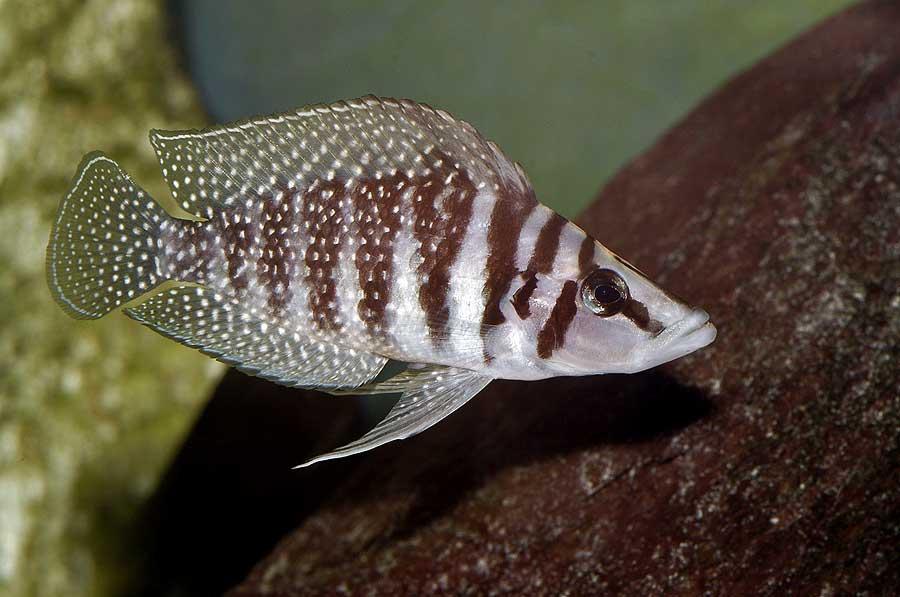 Altolamprologus calvus (blanc de Zambie)