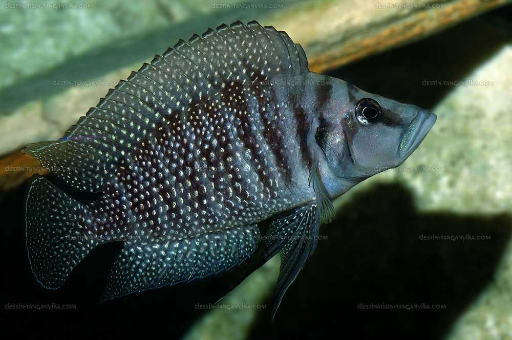 """Altolamprologus calvus """"black (Congo)"""