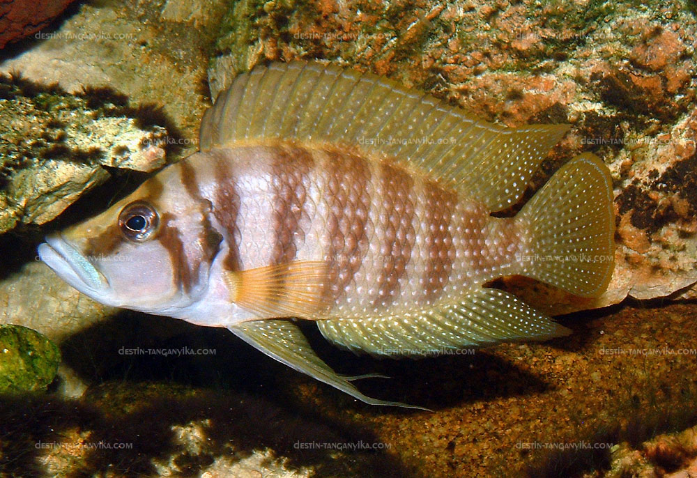 """Altolamprologus calvus """"gold"""" (Nlkamba bay)"""