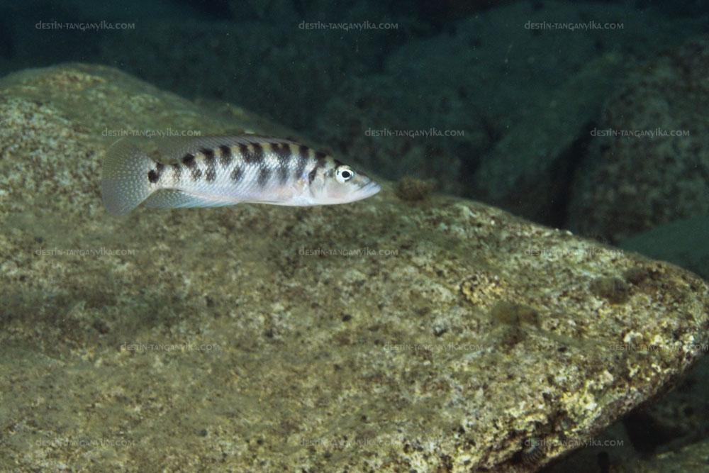 altolamprologus-fasciatus-kali-a.1