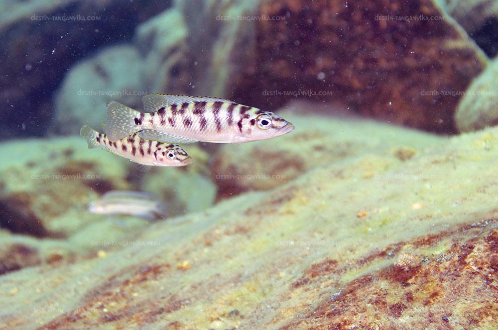 altolamprologus-fasciatus-kek-a.1