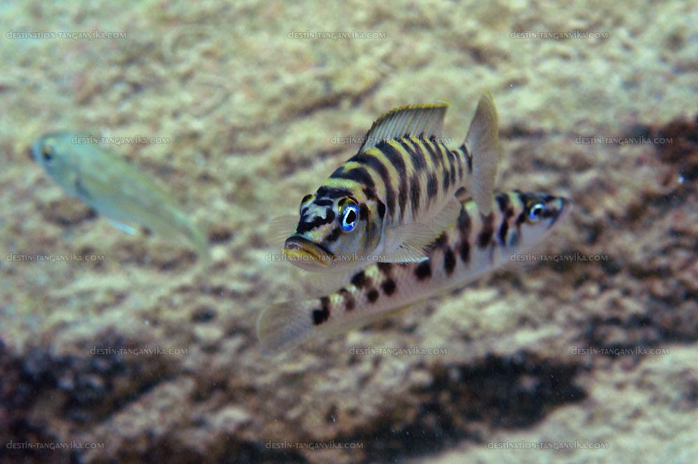 altolamprologus-fasciatus-l-mpim-a.1