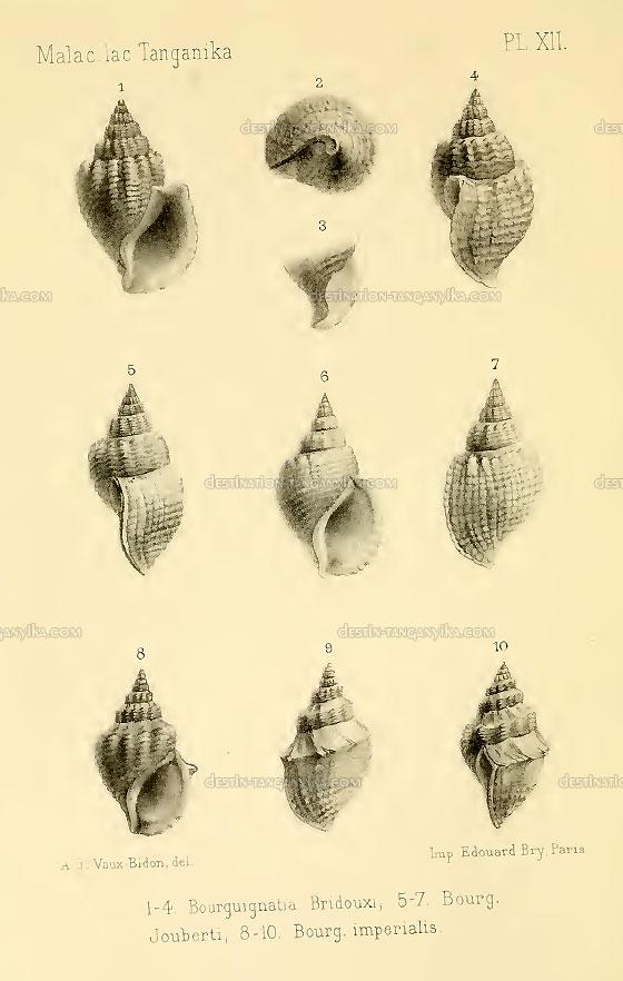 bourguignatia-bridouxi
