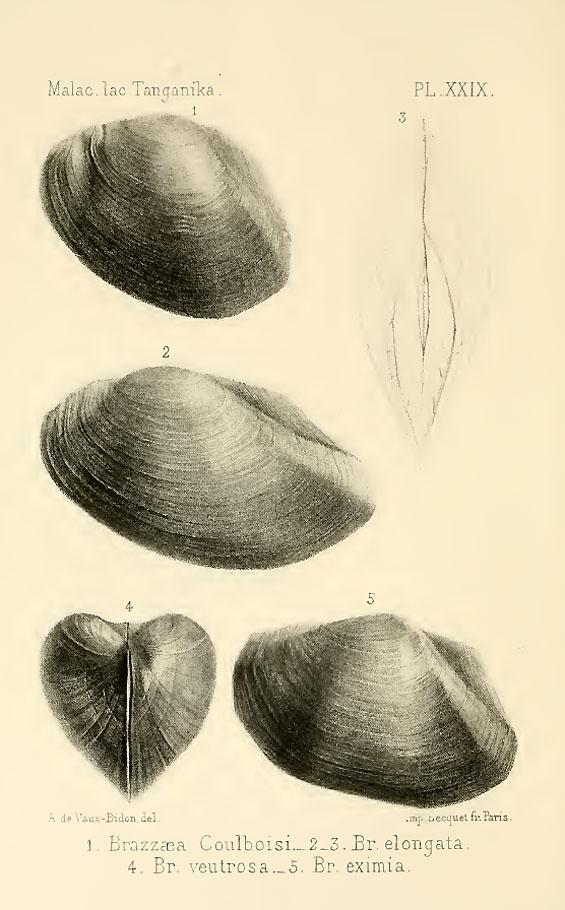 brazzae-coulboisi