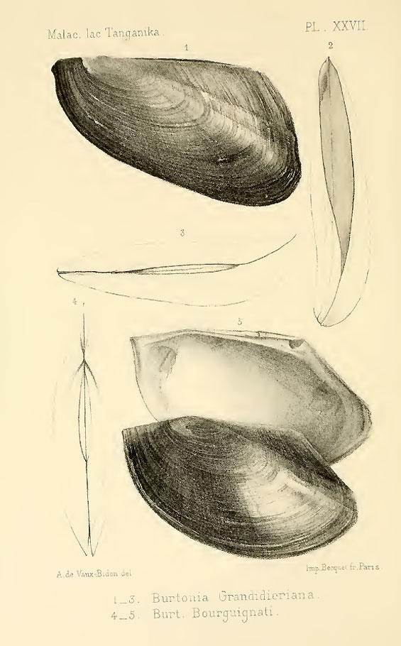 burtonia-grandidieriana
