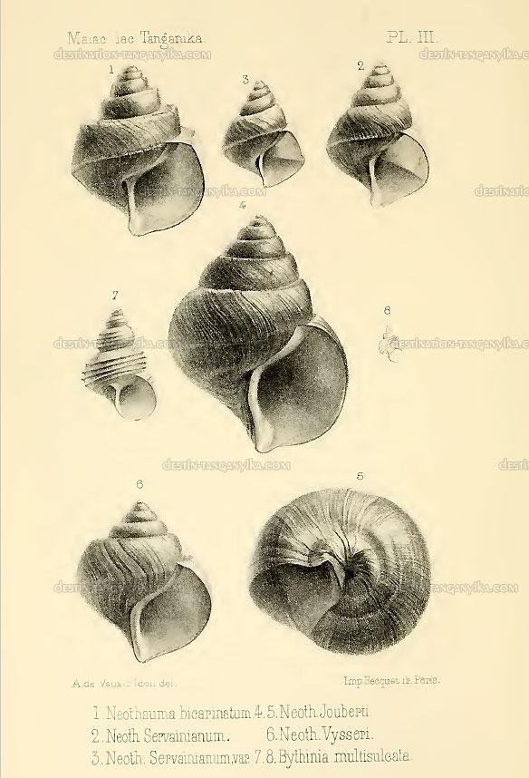 neothauma-bicarinatium
