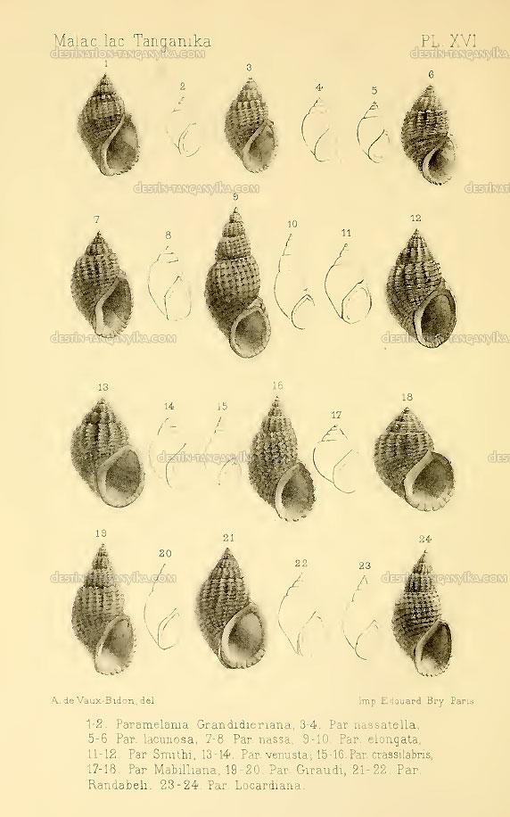 parameliana-grandidieriana