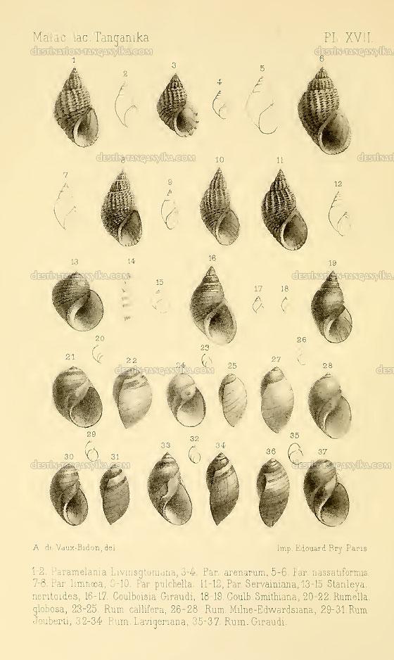 parameliana-livingstoniana
