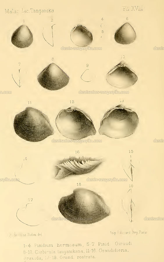 pisidiumhermosum