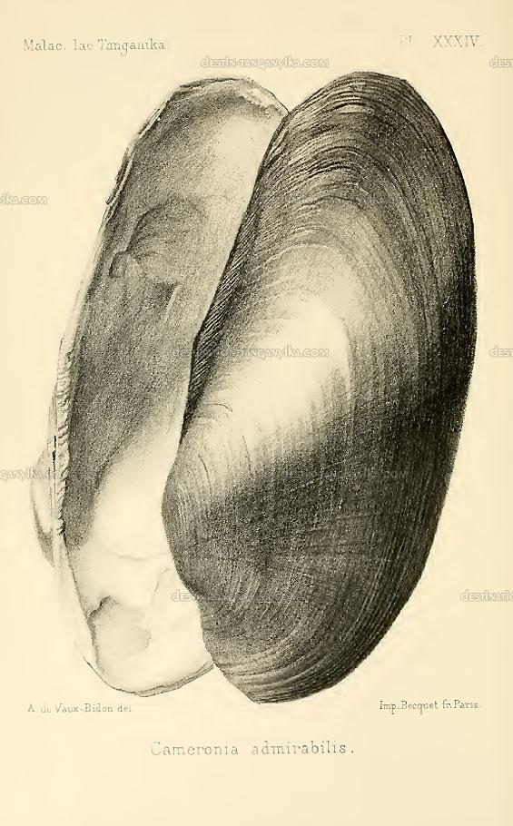pleiodon-spekii-admirabilis