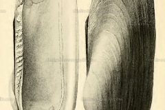 brazzaea-anceyi