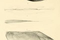 burtonia-lavigeriana