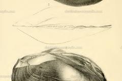 cameronia-paradoxa