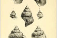 neothauma-tanganikanum