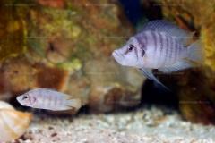 "Altolamprologus sp. compressiceps ""shell"" (de  Zambie)"