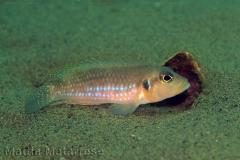 Lamprologus ocellatus (Magambo)