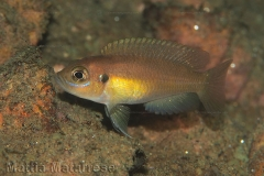 Neolamprologus brevis Kaswente