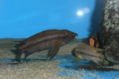 Chalinochromis bifrenatus/Neolamprologus pectoralis ?