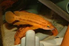 Chalinochromis bifrenatus/Neolamprologus leleupi