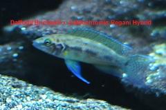 "Neolamprologus pulcher ""daffodil""/Julidochromis regani"