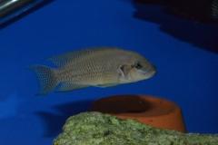 """Neolamprologus splendens """"Kiku""""/Telmatochromis sp. """"shell"""""""
