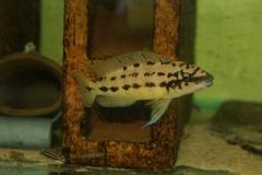 Chalinochromis sp. ndbhoi/Julidochromis regani