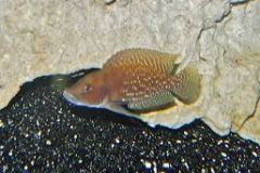 Altolamprologus calvus/Neoalmprologus buescheri