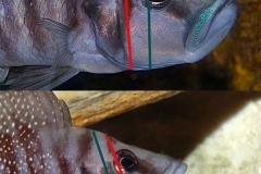 Comparaison A. calvus et A. croisés calvus/compressiceps