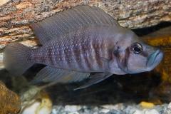 Altolamprologus compressiceps/A. calvus