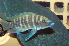 Altolamprologus calvus/Neolamprologus cylindricus