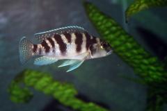 Lepidiolamprologus elongatus/Neolamprologus tretocephalus
