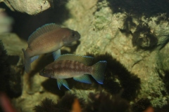Neolamprologus nigriventris/N. buescheri