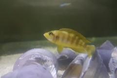 Neolamprologus sexfasciatus/Lamprologus ocellatus